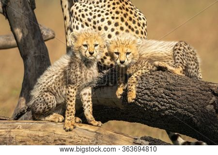 Two Cheetah Cubs Scowling On Fallen Branches