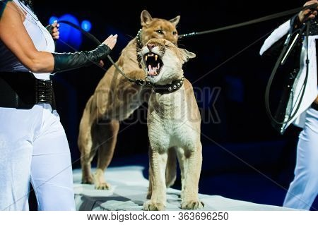 Puma Performs In The Circus