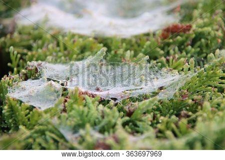 Spider Webs Wet With Dew In Hedges During Sunrise In The Town Of Nieuwerkerk Aan Den Ijssel