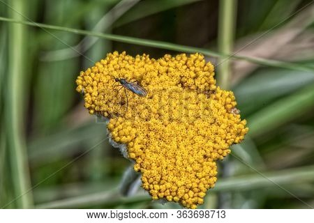 An Insect On A Yellow Flower Head On The Hiking Trail To The Grotto In The Drakensberg