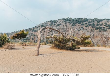 Declined Tree On A Sea Beach In Turkey. Against The Background Of Mountains. Mediterranean Pine.