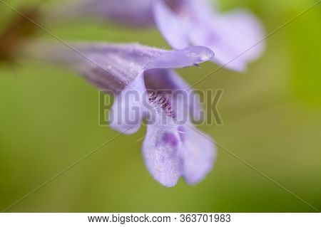 Closeup Of The Blossom Of A Ground-ivy (glechoma Hederacea, Lamiaceae) Growing In A Garden In Vienna