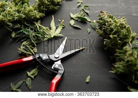 Harvest Weed Time Has Come. Growers Trim Cannabis Buds. Trim Before Drying. Mans Hands Trimming Mari