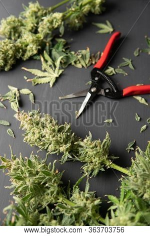 The Sugar Leaves On Buds. Growers Trim Their Pot Buds Before Drying. Trim Before Drying. Mans Hands