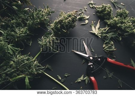 Trim Before Drying. Growers Trim Cannabis Buds. Harvest Weed Time Has Come. Growers Trim Their Pot B