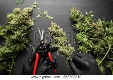 Growers Trim Cannabis Buds. The Sugar Leaves On Buds. Harvest Weed Time Has Come. Trim Before Drying