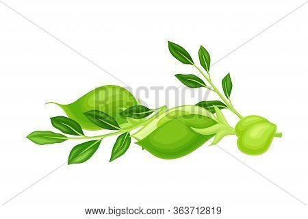 Green Pod Of Chickpea As Annual Legume Plant With Green Proteinic Pea Inside Vector Illustration