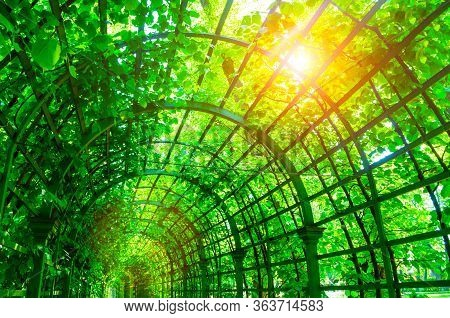 Summer landscape - metal ached tunnel covered with green climbing plants, summer garden landscape with soft sunlight. Summer garden park scene, colorful summer nature