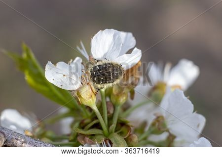 Tropinota Hirta, A Pest That Destroys The Flowering Plants, Feeds On Flowers And Buds Of Plants, Bee
