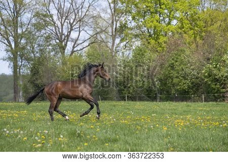 One Stallion Horse, At A Sunny Day. Galloping Dressage Horse Stallions In A Meadow. Breeding Horses.