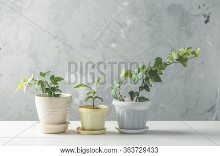 Collection Of Various Ivy And Tangerine Seedling In Different Pots On White Wooden Table With Grey C