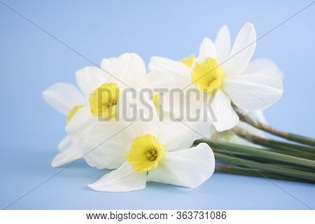 Fresh White Daffodils Isolated On A Blue Background. Bouquet Of Daffodils. Spring Flowers. Banner. C