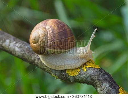 Big Snail In Shell (helix Pomatia Also Roman Snail, Burgundy Snail) Crawling On A Tree Branch, Summe