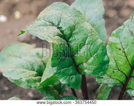 Organic Beet Grown In Garden. Beet Or Chard Leaves In Garden, Natural Daylight. Copy Space For Text.