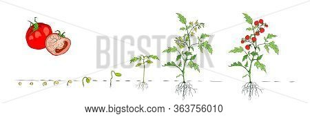 Tomato Stage Growth. Stages Of Growth From Seed And Sprout To Adult Plant With Underground Roots Sys