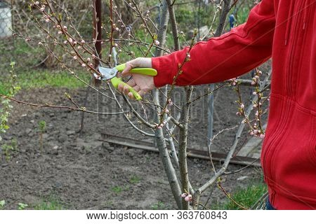 Male Farmer Looking After The Orchard. Spring Pruning Of Fruit Trees. Man With A Pruner Shearing Tip