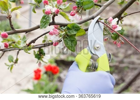 Farmer Looking After The Garden. Spring Pruning Of Fruit Trees. Woman With A Pruner Shears Tips Of A