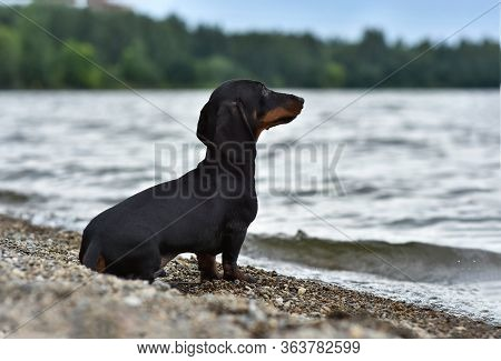 Dachshund Breed Dog, Sits In The Evening On The Shore Of The Lake On The Background Of Water And Sky