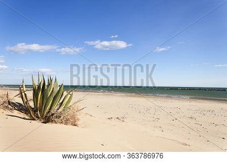 Agave Americana Marginata On The Beach In The Mediterranean Sea On Summer