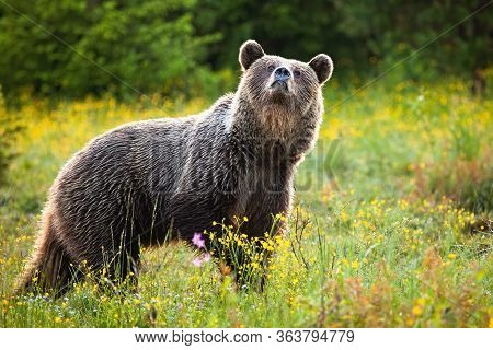 Unaware Brown Bear Sniffing With Nose High Up On A Fresh Meadow In Spring