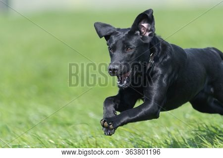Close Up Of A Black Labrador Puppy Running Through A Field