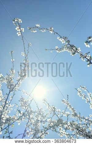 Blurred Branches Of Blossoming White Cherry On A Background Of White Sun And Pale Blue Sky. Beautifu