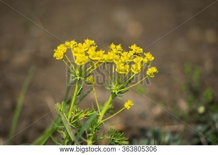 Snake Milk (euphorbia Cyparissias) Is A Yellow-flowering Poisonous Perennial Herb Of The Spurge Fami