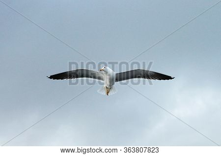 Lesser Black-backed Gull Larus Fuscus Swooping In Air Catching Food From Hand On Natural Background