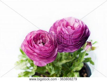 Beautiful Purple Ranunculuses Flowers Close Up On White Background. Ranunculus Cultivation.