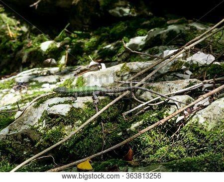 Green Lizard Froze On The Rocks