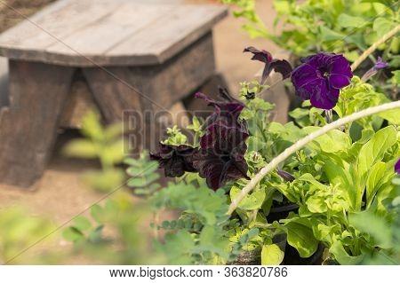 Petunia: Petunia Seedlings Grow In A Black Seedling Plastic Pot In A Greenhouse. Petunia Planting. B