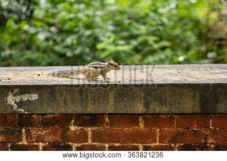 Northern Palm Squirrel In New Delhi, India