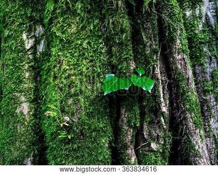 Green Ivy Leaves Growing On A Tree Trunk In The Forest Close Up