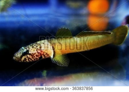 Chestnut Goby - (chromogobius Quadrivittatus) Is A Species Of Goby Found In The Mediterranean And Bl