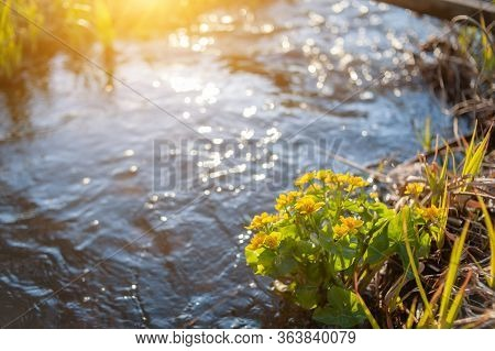 Yellow Wild Flowers Growing In Water Swamp. Yellow Wildflowers On A Swamp Background. Bokeh Backgrou