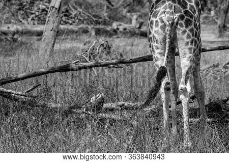 Giraffe Backside View With Tail Standing On Background Of The Trees. Rothschild Giraffe (giraffa Cam