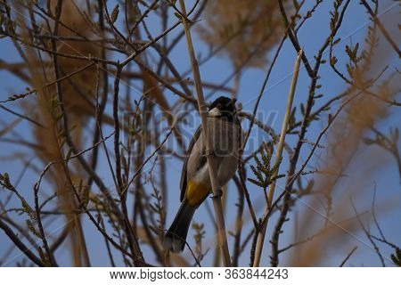 White Eared Bulbul Pycnonotus Leucotis, A Bird Perched On A Cane In The Al Azrak Reserve In Jordan A