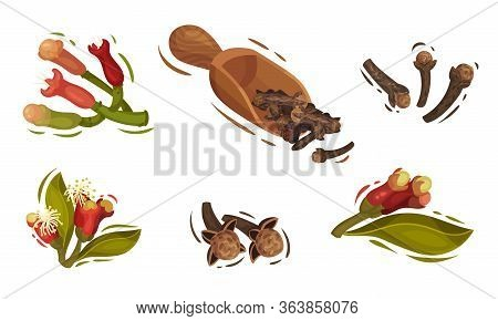 Dried Clove And Blossomed Flower Buds Vector Set
