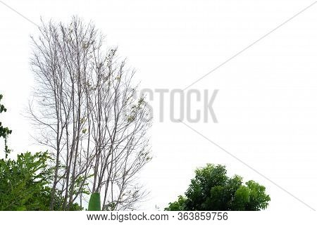 A Row Of Leafless And Green Tropical Trees On White Isolated Background