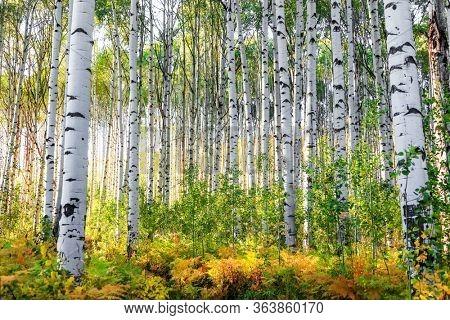 Aspen trees in Colorado rocky mountains