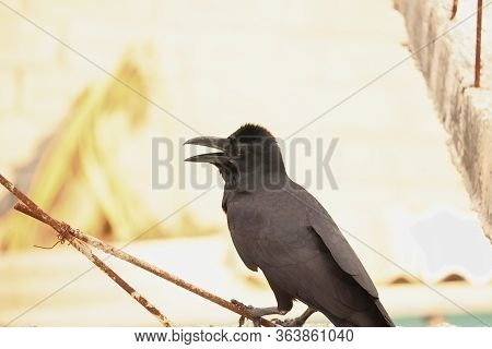 A Raven Crow Perching On Iron Rods, Common Raven (corvus Corax) Backgrounds,black Carrion Crow (corv