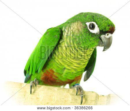green Conure