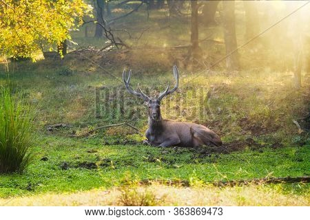Male sambar (Rusa unicolor) deer resting in the forest. Sambar is large deer native to Indian subcontinent and listed as vulnerable spices. Ranthambore National Park, Rajasthan, India. Horizontal pan