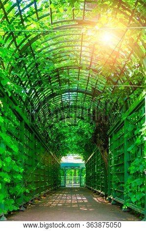 Summer landscape - metal ached tunnel covered with green climbing plants, summer garden landscape. Summer garden park scene, colorful summer nature