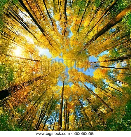 Extreme Wide Angle Upwards Shot In A Forest, Magnificent View To The Colorful Canopy With Autumn Fol