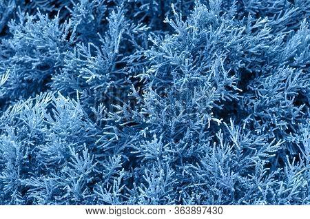 White Cedar Background. Green Leaf Texture. Tiny Green Leaves Background. The Natural Texture Of Whi