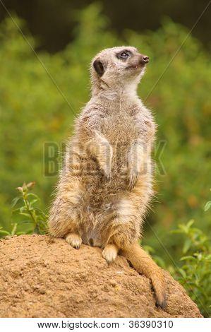 Meerkat standing on guard looking upward, watching for predators like hawks