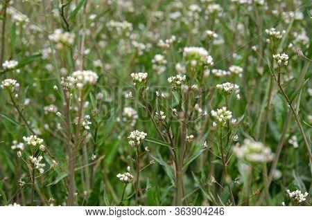Unconventional Medicine. Capsella Bursa-pastoris Medicinal Plant Grows In An Open-air Garden