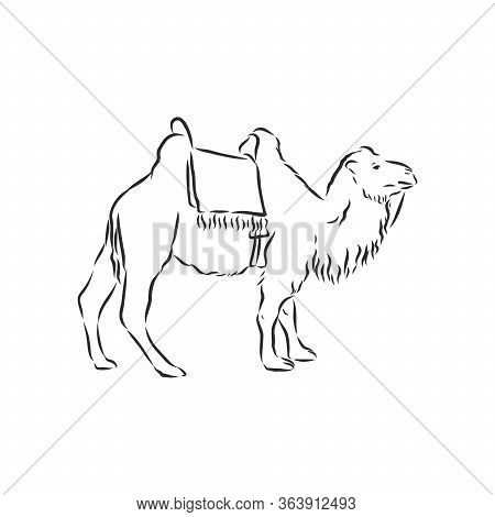 Camel. Hand Drawn Vector Illustration. Can Be Used Separately From Your Design. Camel Vector Sketch
