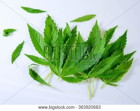 Stack Of Fresh Green Cannabis Ruderalis Leafs On A White Background